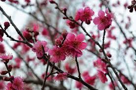 3月梅の花